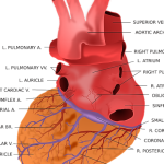 Tabique interventricular